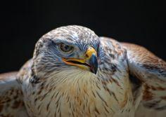 Red-tailedHawk To buy this picture please visit www.3aART.de Zum Erwerb dieses Bildes besuchen sie bitte unsere Hompage www.3aART.de