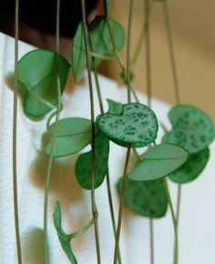 Impossible de ne pas craquer pour Ceropegia woodii, la chaîne des cœurs. Cette petite plante grasse se plaît partout, au bureau comme à la maison ! Elle aime la lumière, n'est guère exigeante en arrosage et se bouture facilement. Les conseils de Détente Jardin pour la réussir.