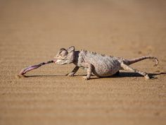 A namaqua chameleon snags a tasty beetle larva in the Namib Desert.