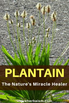 "The Benefits Of The Use Of Plantain In Natural Healing  Normally plantain is regarded as a weed by many gardeners, but it has long been valued in herbal remedies, and continues to discover herbal usages. There are some equally beneficial and very decorative varieties for the garden.  Today, I am sharing this video on ""The Plantain – Natural's Miracle Healer"" created by rickvanman. In this video, he will talk about all of the uses plantain has and it's awesome healing properties."