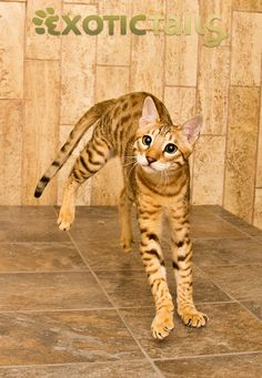 Charlie, Exotic Tails, F6C, Lucky Charm, Male, Savannah, Savannah Cat, Savannah Kitten, Serval, Studs-0913.JPG
