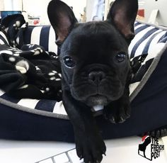 The major breeds of bulldogs are English bulldog, American bulldog, and French bulldog. The bulldog has a broad shoulder which matches with the head. Cute French Bulldog, French Bulldog Puppies, French Bulldogs, Baby Animals, Funny Animals, Cute Animals, Cute Puppies, Dogs And Puppies, Pet Dogs