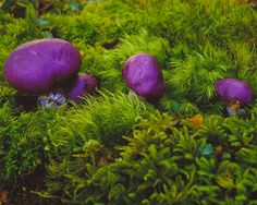 Purple Fungi in Silver Beech Forest on the flanks of Mt Twilight  fineartlandscapes.net