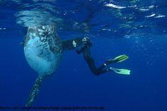 """Sensationelle Meeresaufnahmen: der weltweit größte Mondfisch (""""Mola Mola"""") wurde gesichtet  Interessante Neuigkeiten aus der Welt auf BuzzerStar.com : BuzzerStar News - http://www.buzzerstar.com/sensationelle-meeresaufnahmen-der-weltweit-groesste-mondfisch-mola-mola-wurde-gesichtet-3552cebbc.html"""
