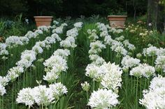 Agapanthus Zig Zag in a mass planting Agapanthus, Spring Sign, White Gardens, Zig Zag, Outdoor Decor, Plants, Bulbs, Image, Flowers