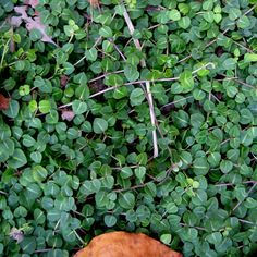 Mitchella repens* great shady fast growing ground cover