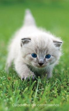 Password Notebook:Medium-Size Internet Address and Password Logbook / Journal / Diary - Blue-Eyed Kitten Cover, white Cute Kittens, Kittens And Puppies, Baby Kittens, Cats And Kittens, Animals And Pets, Baby Animals, Funny Animals, Cute Animals, Stuffed Animals