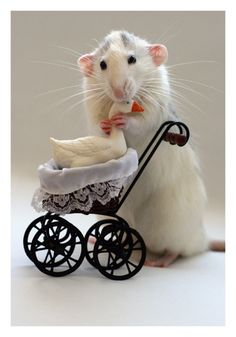<3 Lots of folks have confused these cute photos with pictures of mice, when they are actually rats. Lovely little rats. :-)