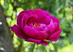 Peony, Blossom, Bloom, Pink