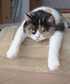 ever feel like this?!? Pretty Cats, Beautiful Cats, Gato Calico, Calico Cats, Funny Animals, Cute Animals, Funny Cats, Curious Cat, Cute Cats And Kittens