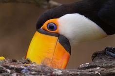 Toco Toucan (Ramphastos toco) Toco Toucan, Animal Kingdom, South America, Habitats, Respect, Creatures, Birds, Photos, Animals