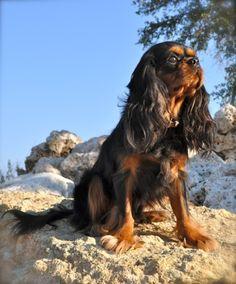 Merritt. Our Black and Tan Cavalier King Charles! www.almostfamousdog.com Like us on FB too!