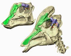 Corythosaurus Skulls