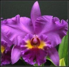 learned about a new flower today: Cattleya Orchid