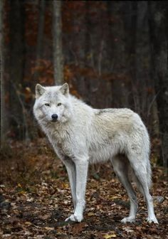 ☀Found on livingwiththewolves.tumblr.com #wolf #wolves #animals