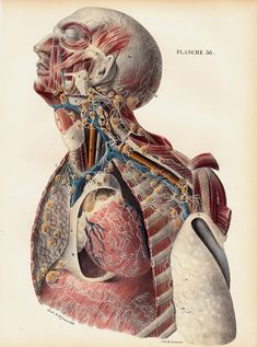1844 Antique ANATOMY print by Lemercier, fine lithograph of  MALE TORSO, Lymphatic vessels of the diaphragm, heart, breasts, ganglion, veins...
