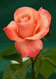 Resultado de imagen de rosas bonitas