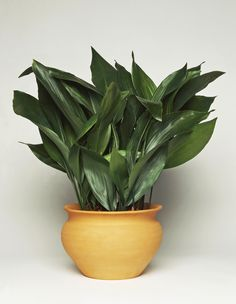 Castiron Plant (Aspidistra elatior) --- great lower maintenance indoor house plant --  ok in lower light -- water every 10 days