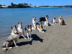 Collies by the water is a graceful sight