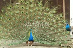 peacock with open tail suing a female