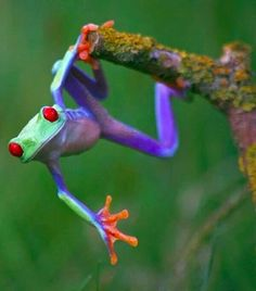"""Talented frog""~The red-eyed tree frog has three eyelids, and sticky pads on its toes. Phyllomedusid tree frogs are arboreal animals, meaning they spend a majority of their lives in trees; Funny Frogs, Cute Frogs, Beautiful Creatures, Animals Beautiful, Frosch Illustration, Funny Animals, Cute Animals, Baby Animals, Red Eyed Tree Frog"
