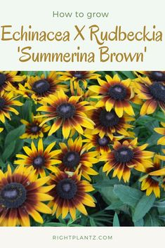 Echinacea X Rudbeckia 'Summerina Brown' Common Name: Echibeckia Plant Story: A unique hybrid flower that features the disease tolerance of Echinacea with the appearance of a Rudbeckia; Echinacea X Rudbeckia 'Summerina Brown' features big orange tipped petals with a red-brown center.  Type: Perennial Herbaceous Bloom Season: Summer- Fall  Click to learn more Common Names, Different Plants, Autumn Summer, Garden Plants, Perennials, Bloom, Seasons, Orange, Type