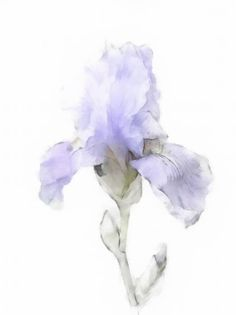 Delicate Iris Watercolor • Diane Krouse