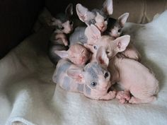 Hairless Kitties ❤️