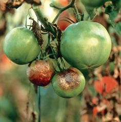 Preventing late blight in tomatoes | From Organic Gardening