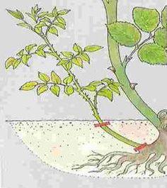 Strihanie - Ruže   Rosarium - Články