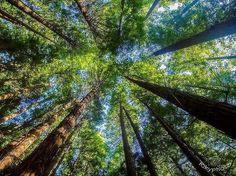 A veces... El #tamaño SI importa  #Bosque de #Secuoyas del #Monte Cabezón   #CabezonDeLaSal #Cantabria   @riky_photo  #Naturaleza