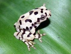 Vietnamese Spotted Gliding Frog....I say it's a Dalmatian Frog ;)