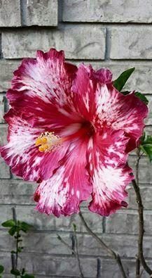 Cherry ice hibiscus from Shandi Powers Rare Flowers, Exotic Flowers, Amazing Flowers, Beautiful Flowers, Purple Flowers, Hibiscus Plant, Hibiscus Flowers, Tropical Flowers, Lilies Flowers