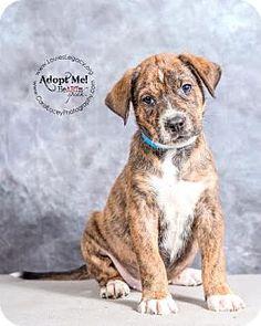 Cincinnati, OH - Boxer/Labrador Retriever Mix. Meet Link, a puppy for adoption. http://www.adoptapet.com/pet/14103315-cincinnati-ohio-boxer-mix