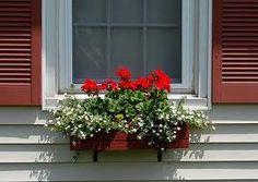 Bij geraniums denk ik altijd aan bejaarden en aan die oersaaie rode geraniums in de bloembakken in de Jordaan. En dat is onzin, werd met laatst verteld door een goede vriendin. Ik moet erkennen dat