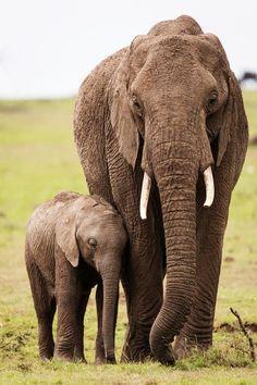 Elephant with its cub Photo by Nik Wittmann -- National Geographic Your Shot Elephant Spirit Animal, Elephant World, Elephant Love, Giraffe, Save Animals, Animals And Pets, Elephant Canvas Art, Elephant Photography, Elephants Photos