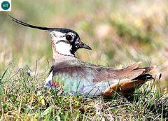 ☎️ https://www.facebook.com/WonderBirdSpecies/ ⛲⛲⛲ Northern lapwing/Peewit (Vanellus vanellus); Temperate Eurasia;  IUCN Red List of Threatened Species 3.1 : Near Threatened (NT)(Loài sắp bị đe dọa)  Te mào; Á-Âu ôn đới; HỌ CHOI CHOI - CHARADRIIDAE (Plovers, Dotterels, Lapwings).