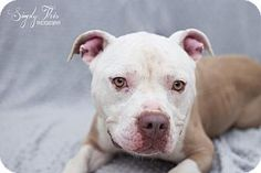 Valley Falls, KS - Pit Bull Terrier Mix. Meet Nikki, a dog for adoption. http://www.adoptapet.com/pet/12795741-valley-falls-kansas-pit-bull-terrier-mix
