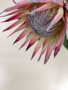 Protea I'm in love Flor Protea, Protea Art, Protea Bouquet, Protea Flower, My Flower, Flower Art, Cactus Flower, Tropical Flowers, King Protea