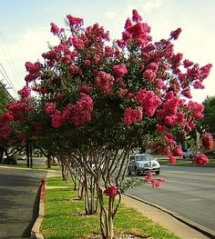 Centennial Crepe Myrtle - going in my backyard to provide some pretty blooms to see out of my bedroom and kitchen windows