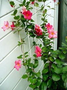 Le #dipladenia ou #mandevilla : une jolie #plante grimpante