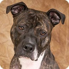 Pictures of Mufasa a Mastiff for adoption in Chicago, IL who needs a loving home. Big Dogs, Cute Dogs, Pit Puppies, Chihuahua Dogs, Miniature American Shepherd, Thor, Mastiff Mix, Bull Terrier Puppy, American Pitbull