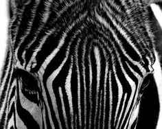 zebra #zebre black and White