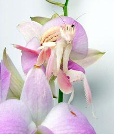 Orchid Mantis    Photo by hanakamakiri | Tumblr