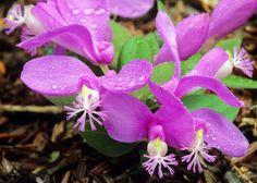 Polygala paucifolia, Gaywings, Tallulah Gorge State Park, Rabun County, Georgia