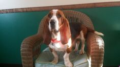 MILFORD/DINGMAN'S FERRY PA--MISSING TSBHR BASSET HOUND 12/10/14 10:30 pm.  NEWLY ADOPTED! PLEASE CROSSPOST!  HAZEL/BASIL (TAGS). TSBHR TAGS & orange rabies tag, orange collar, black leash and orange bandanna. TINY, malnourished Basset. POCONO MOUNTAIN WATER FOREST-  973-534-7528. TX!!