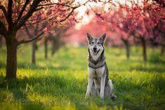Vlk v broskovém sadu Dog Photography, Husky, Dogs, Animals, Animales, Animaux, Pet Dogs, Doggies, Animal