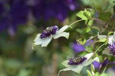 Wunderschöne Blüten, aus unserer Eigenproduktion! Gras, Clematis, Around The Worlds, Instagram, Plants, Photos, House Trees, Hardy Plants, Planting