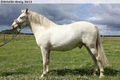 Estonian Native / Klepper - gelding Revers