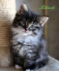 This cat is more beautiful than most people I know.      Siberian cat